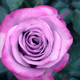 Beautiful Rose...