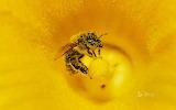 Pollen covered Honey Bee on a pumpkin flower