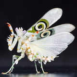 "Science tumblr myfrogcroaked ""Jeweled flower Mantis"""