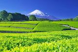 tea plantation,Japan