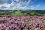Flowers - Flowering Heather - Holnicot Estate Somerset