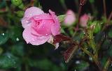 Rose-812963