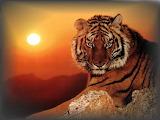 Tigre-lune