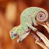 Funny Chameleon...