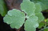 Rosée sur des feuilles / Dew on leaves