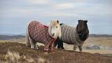 Zwei Ponys mit Pullis