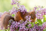Squirrel, branches, animal, lilac, flowers
