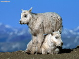 Mountain Goat Kids