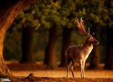 Fallow Deer at Sunrise...