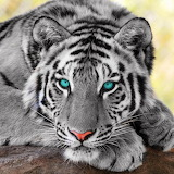 *Beautiful Tiger...