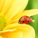 Sunny Ladybug...