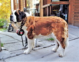 St. Bernard - dog