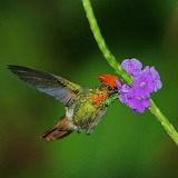 "Birds tumblr amnhnyc 'Tufted Coquette (Lophornis ornatus)"" "" Pho"