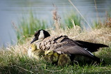Mama Goose and little ones