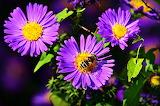 астры и пчёлка