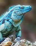 Iguana bleu