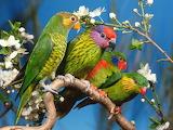 Parrots white blossoms