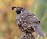 Birds - California Quail 2