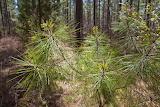 NC-Pine-Trees