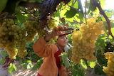 120904-grape-harvest