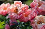 Flowers - petals, peonies