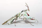 "Science tumblr currentsinbiology ""African devil mantis"""