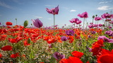 Purple and red poppies flowers