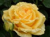 Rose-981406