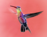 HummingbirdOnPink