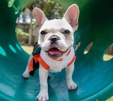 French Bulldog (But I could be wrong!)