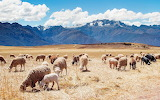 Campo-con-ovejas