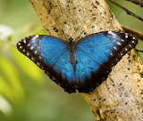 Butterflies - Blue Morpho butterfly - South America
