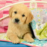 🐶Cute Golden Retriever Puppy...
