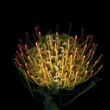 Pincushion Protea, Magda Indigo