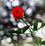 Winter Rose...