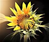 #New Sunflower