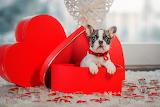 Box, gift, heart, dog, candles, window, puppy, French bulldog, V
