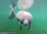 Manatee mother and calf at Blue Spring