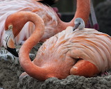 Inside-Look-SeaWorld-San-Diego-Flamingo-chick-and-parent-620x496