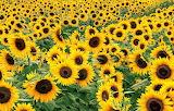 Field of Sunflowers Kentucky