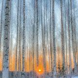 Birch forest, Finland (c) Ossi Saarinen