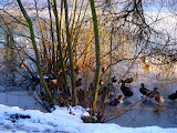 Ducks on a frozen Loch Neaton catching the afternoon sun