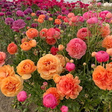 ^ Ranunculus in many colors