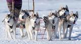 Handsome Huskies
