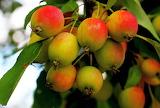 las frutas en su rama