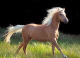 Polonimo horse