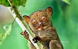 Horsfield's tarsier in the rainforest of Danum Valley. Sabah. Bo