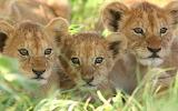 AnimalBabies-lion