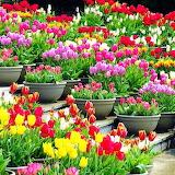 Tulip Gallery...