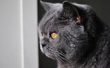 British-shorthair-gray-cat